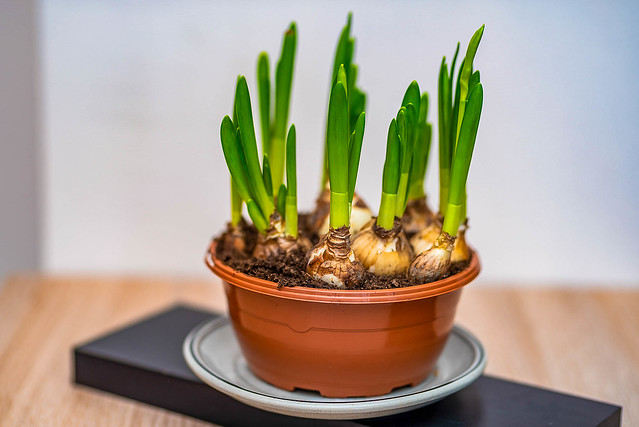 how-to-grow-green-onions